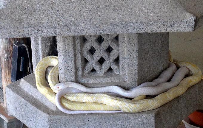 岩國白蛇神社・白蛇観覧所