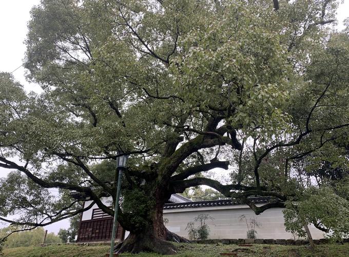 青蓮院門跡(しょうれんいんもんぜき)のクスノキ(京都市東山区)
