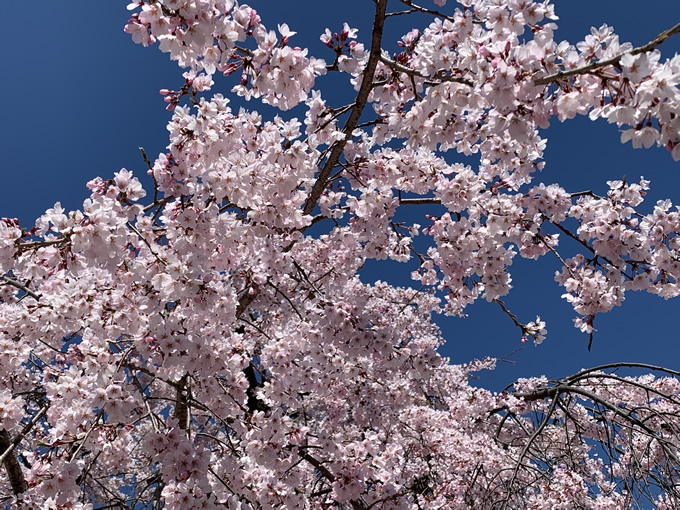 観音神社のしだれ桜と御朱印(広島市西区)